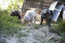 maiali allo stato semibrado