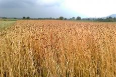 uno dei campi di grano